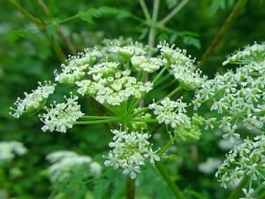 poison_hemlock_flowers